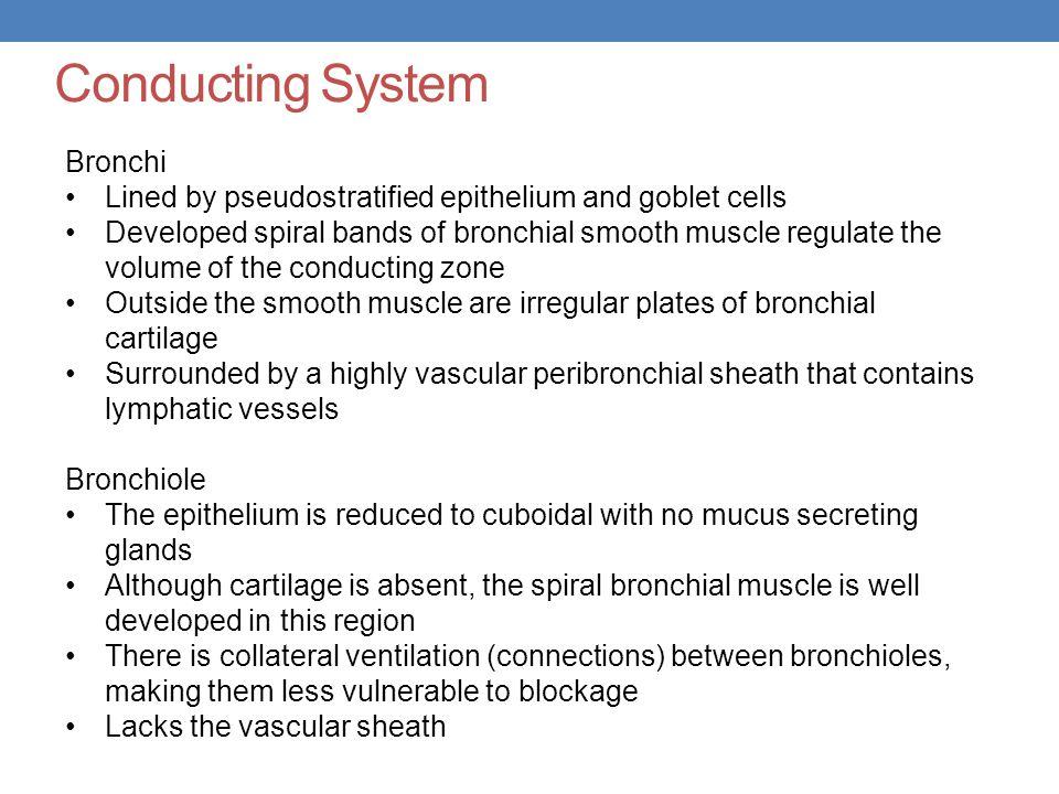 Conducting System Bronchi