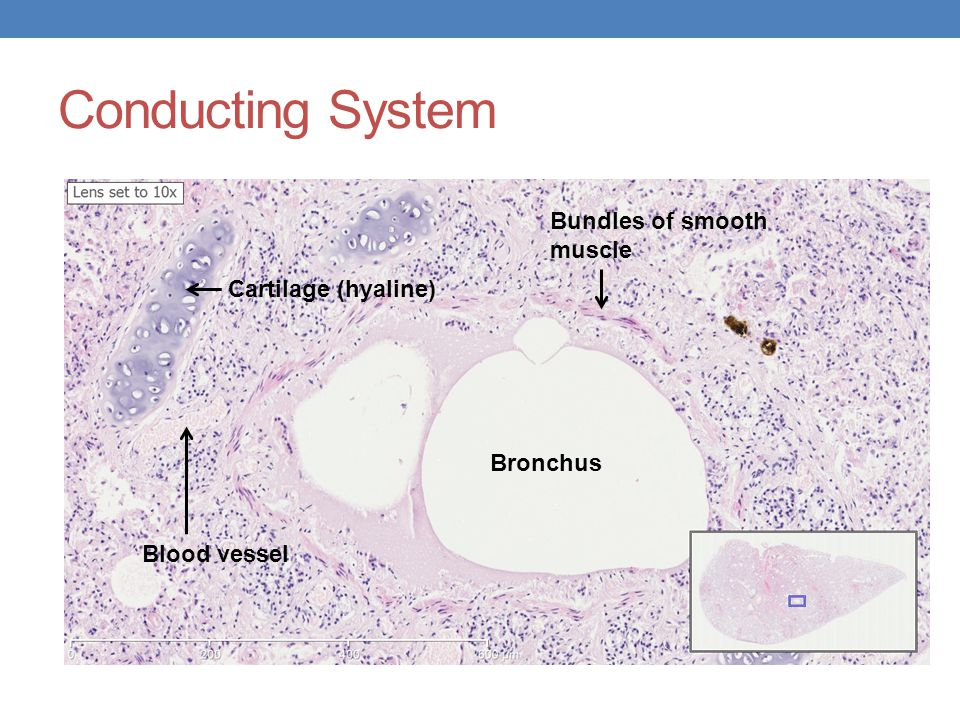 Conducting System Bundles of smooth muscle Cartilage (hyaline)