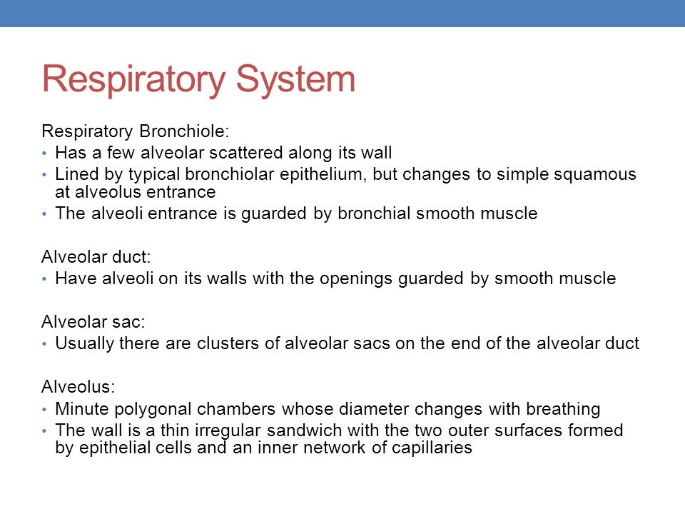 Respiratory System Respiratory Bronchiole: