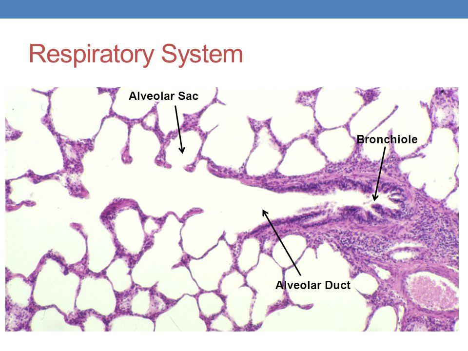 Respiratory System Alveolar Sac Bronchiole Alveolar Duct