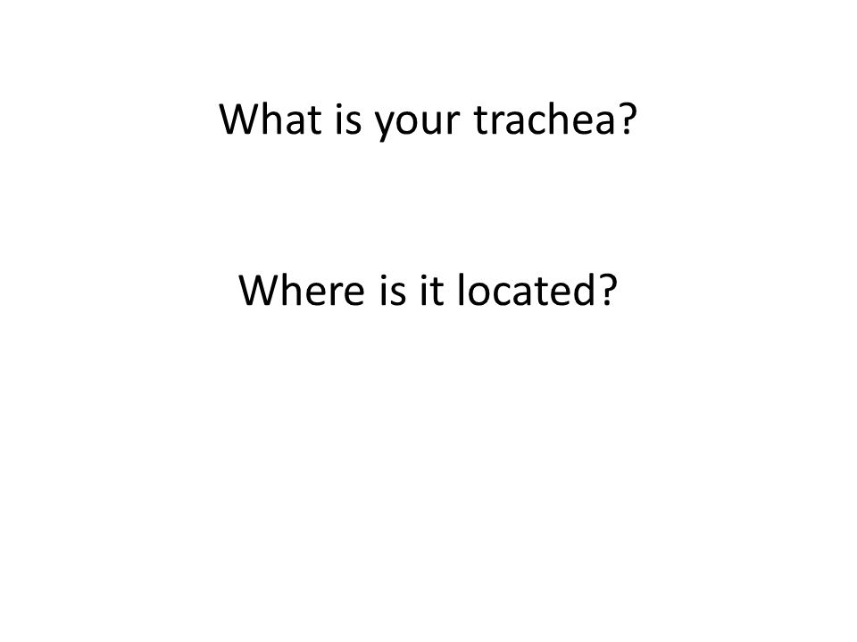 What is your trachea Where is it located