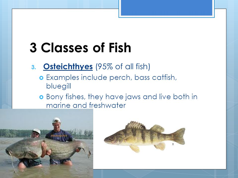 Kingdom animalia vertebrate unit ppt download for Examples of fish
