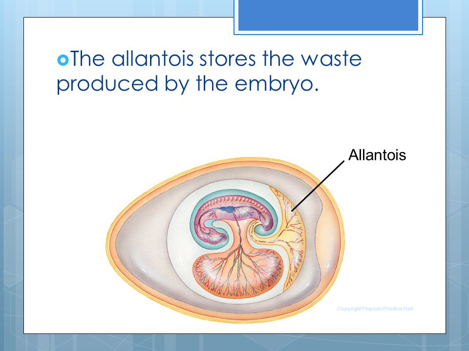 The allantois stores the waste produced by the embryo.