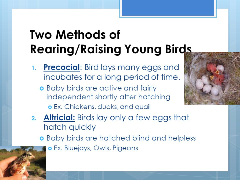 Two Methods of Rearing/Raising Young Birds