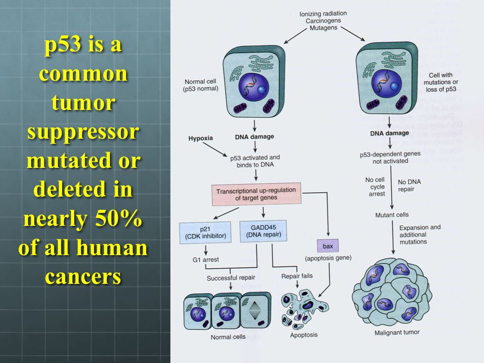 p53 is a common tumor suppressor mutated or deleted in nearly 50% of all human cancers