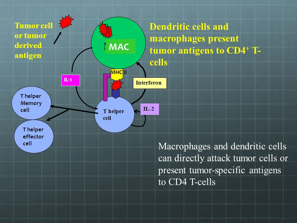 Dendritic cells and macrophages present tumor antigens to CD4+ T-cells