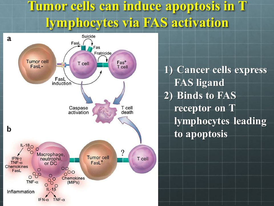 Tumor cells can induce apoptosis in T lymphocytes via FAS activation
