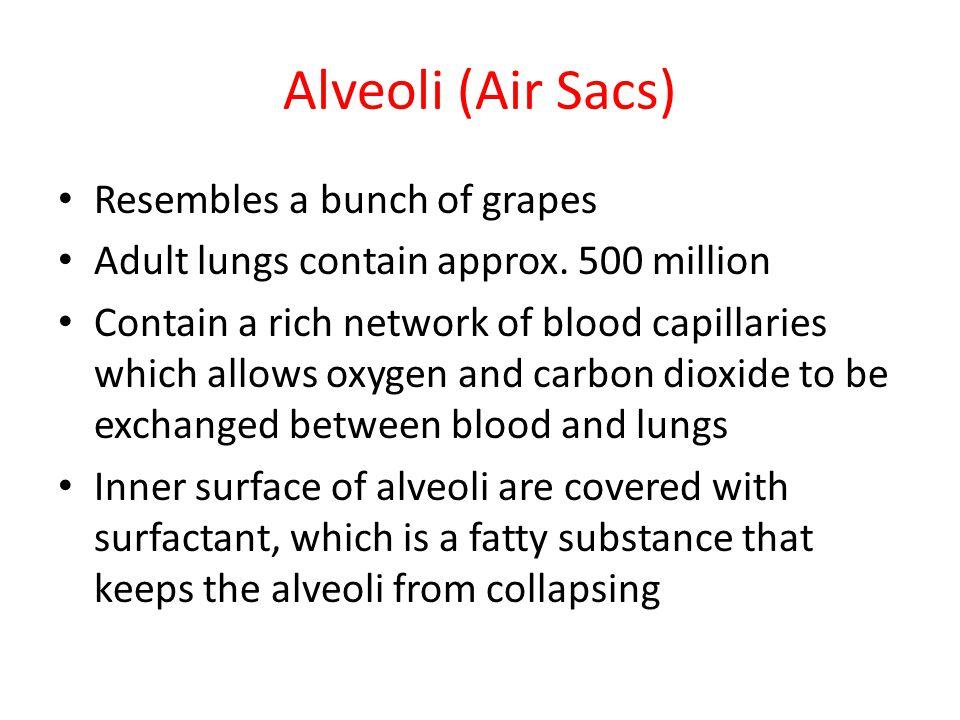 Alveoli (Air Sacs) Resembles a bunch of grapes