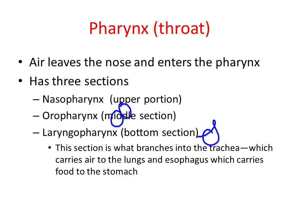 Pharynx (throat) Air leaves the nose and enters the pharynx