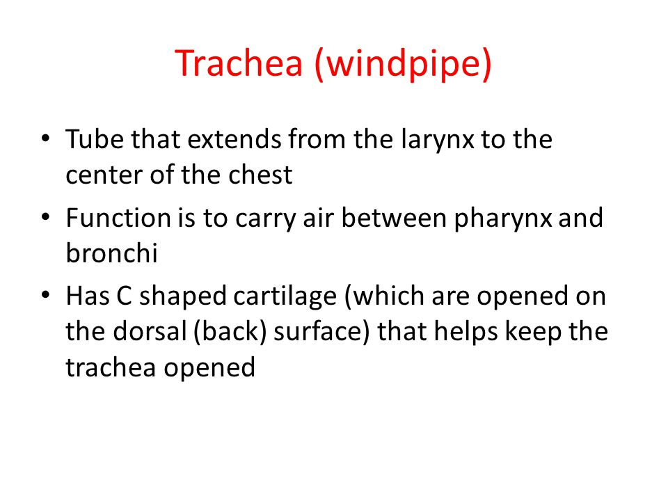 Trachea (windpipe) Tube that extends from the larynx to the center of the chest. Function is to carry air between pharynx and bronchi.