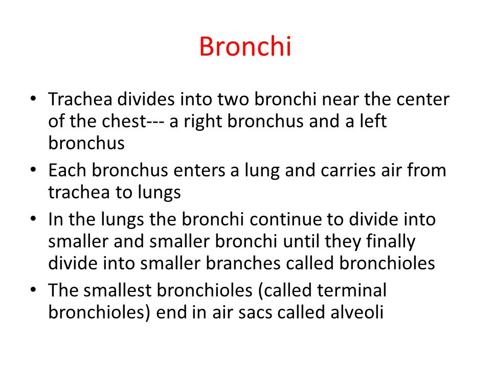 Bronchi Trachea divides into two bronchi near the center of the chest--- a right bronchus and a left bronchus.