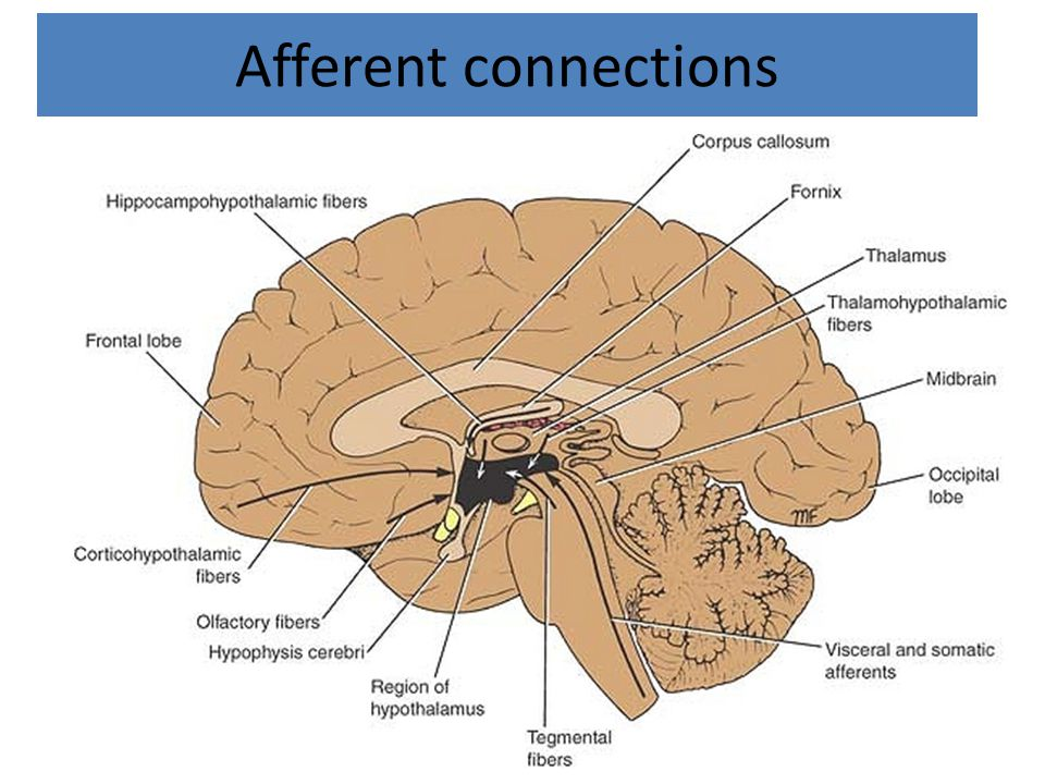 Afferent connections