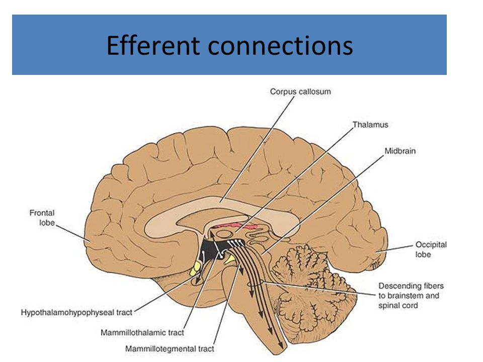 Efferent connections
