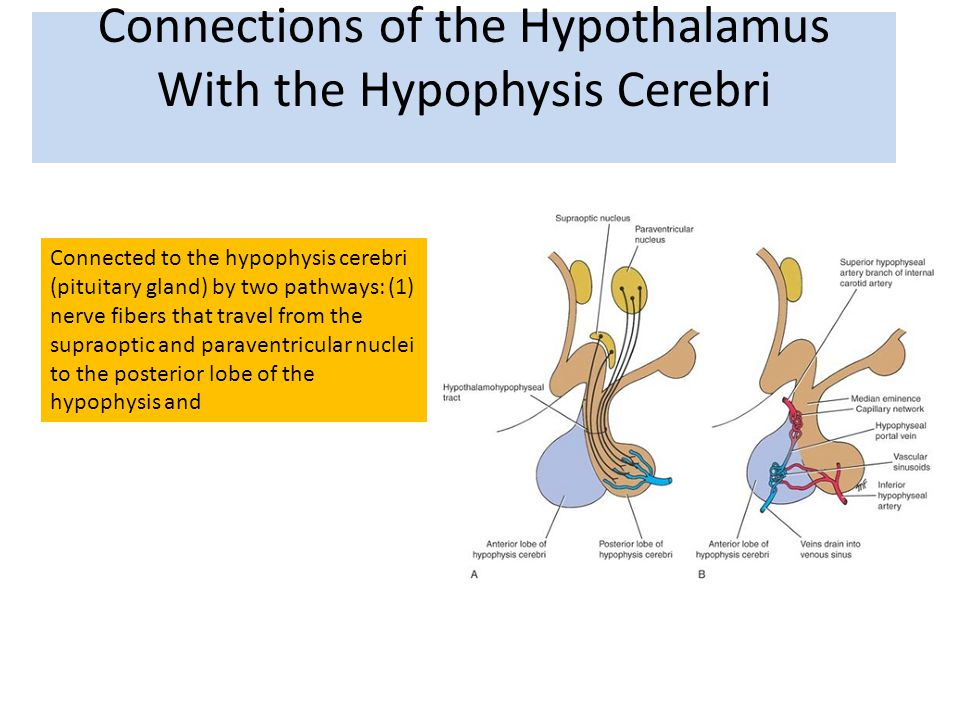 Connections of the Hypothalamus With the Hypophysis Cerebri