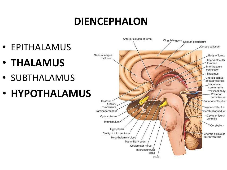 DIENCEPHALON EPITHALAMUS THALAMUS SUBTHALAMUS HYPOTHALAMUS