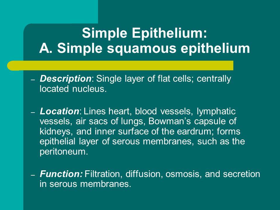 Simple Epithelium: A. Simple squamous epithelium