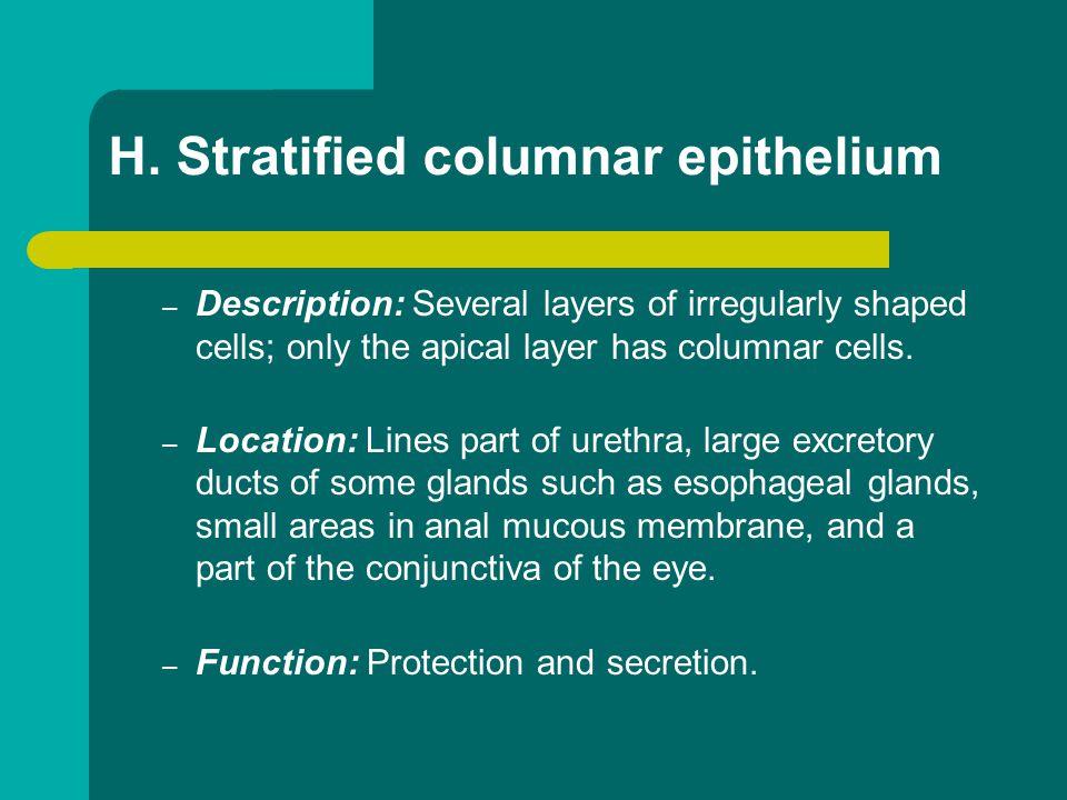 H. Stratified columnar epithelium