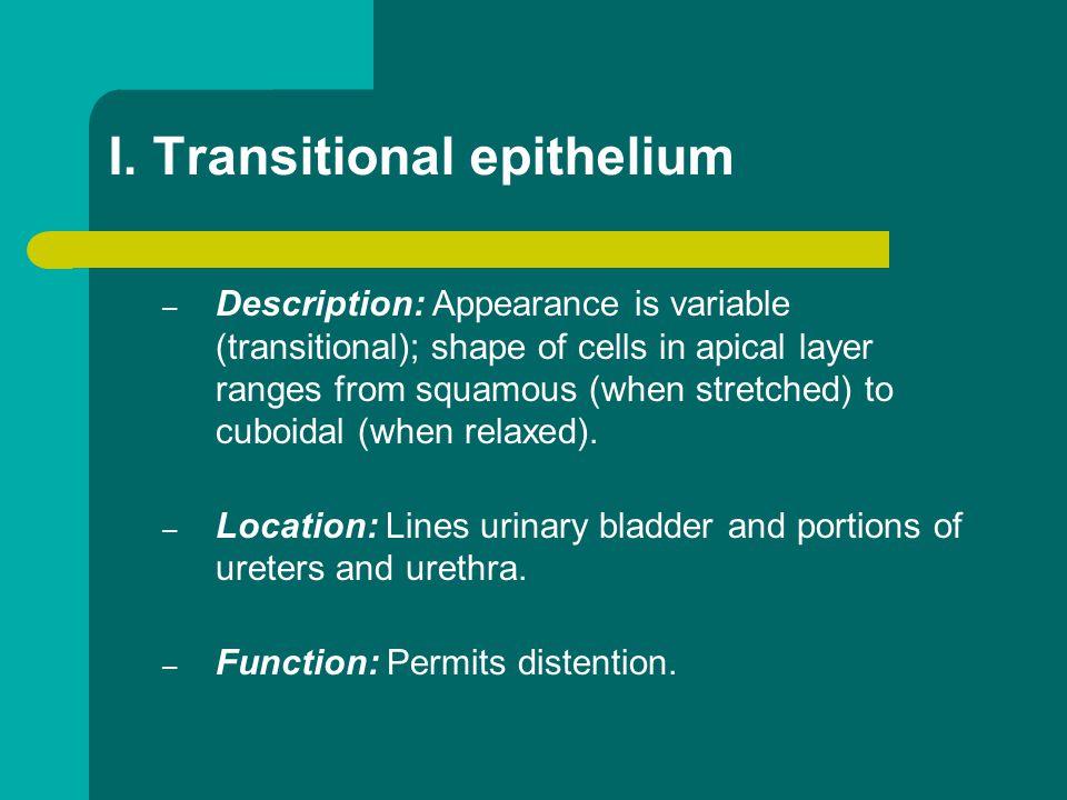 I. Transitional epithelium