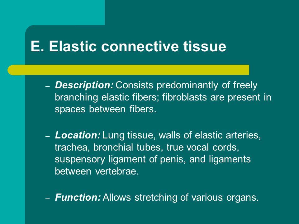 E. Elastic connective tissue
