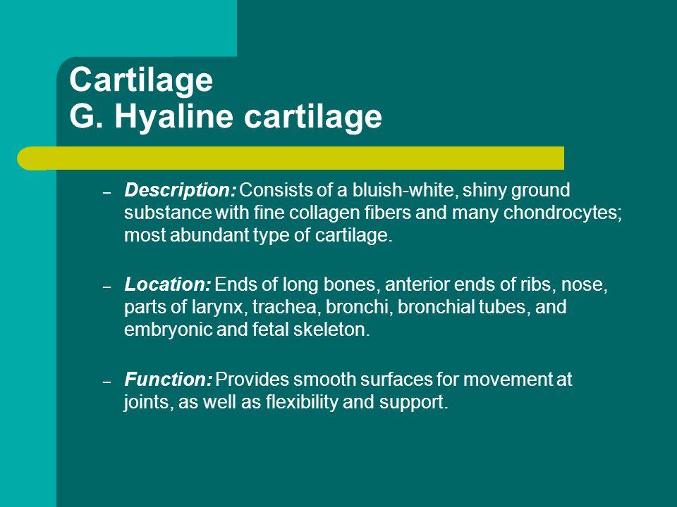 Cartilage G. Hyaline cartilage