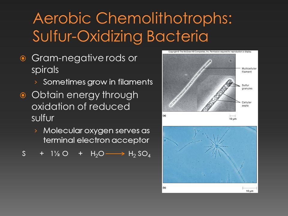 Aerobic Chemolithotrophs: Sulfur-Oxidizing Bacteria
