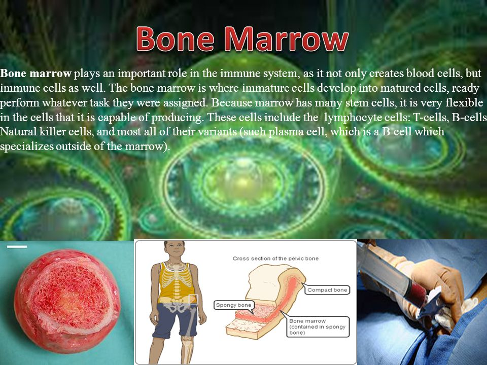 Bone Marrow Bone marrow plays an important role in the immune system, as it not only creates blood cells, but.