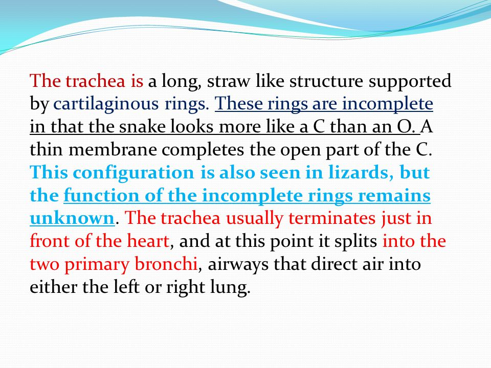 The trachea is a long, straw like structure supported by cartilaginous rings.
