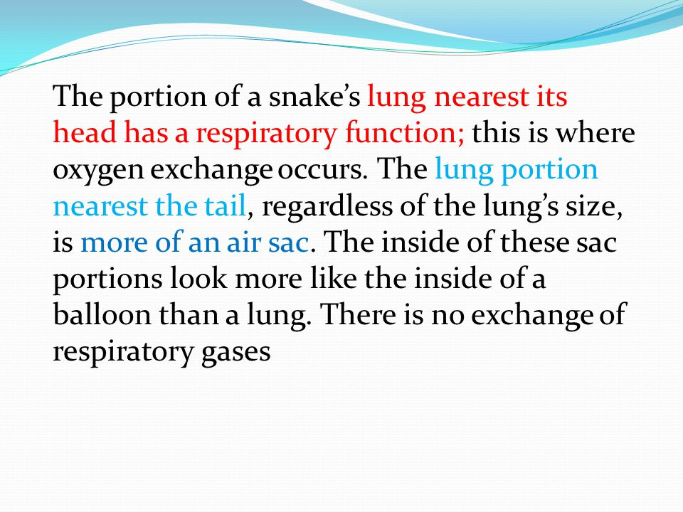 The portion of a snake's lung nearest its head has a respiratory function; this is where oxygen exchange occurs.