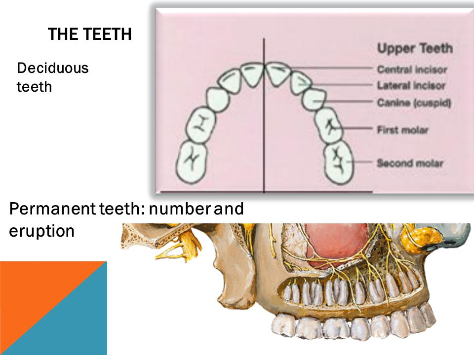 Permanent teeth: number and eruption