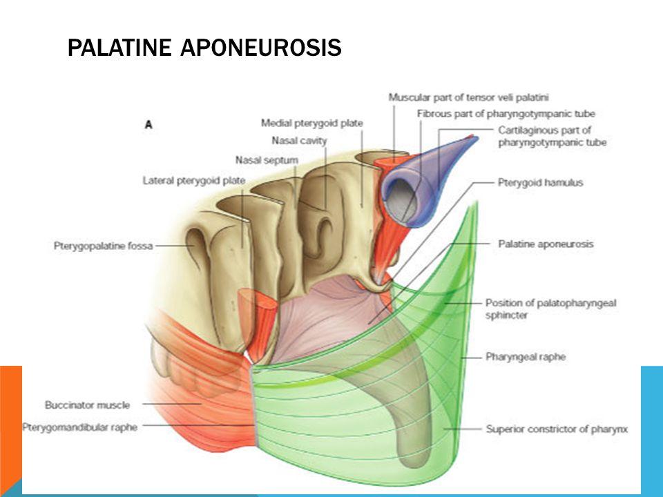 Palatine aponeurosis