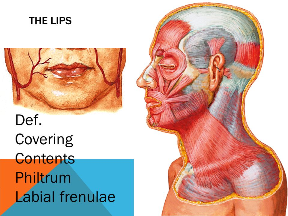The lips Def. Covering Contents Philtrum Labial frenulae