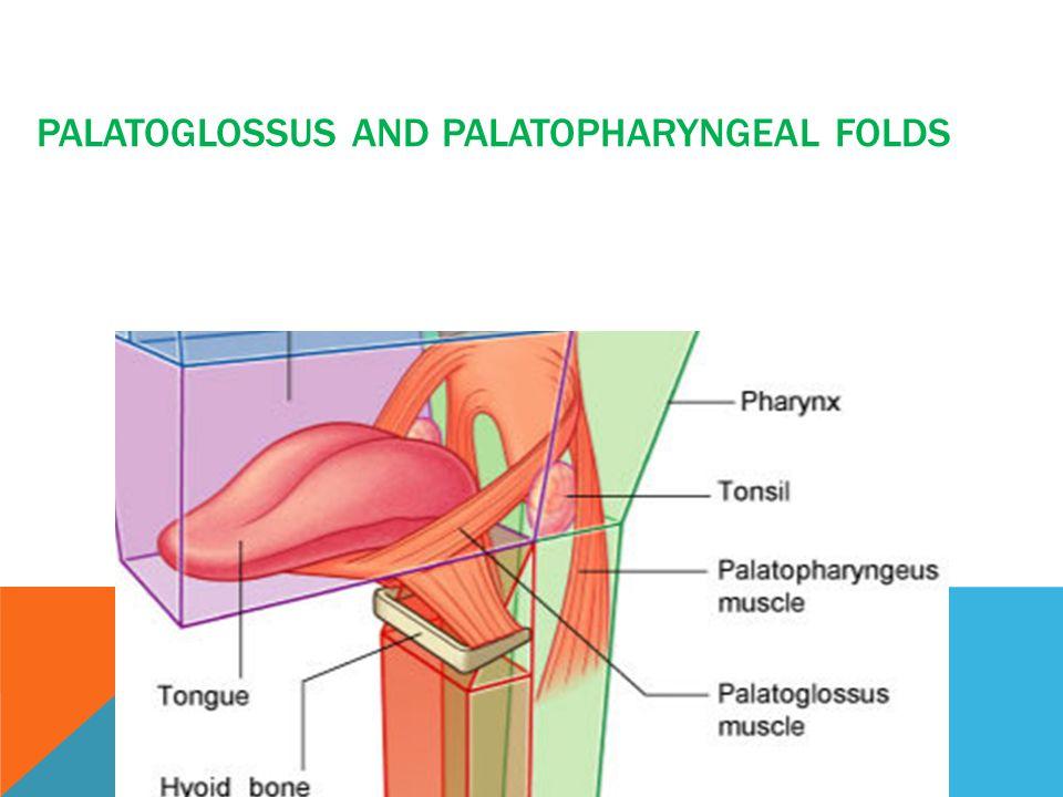 Palatoglossus and palatopharyngeal folds