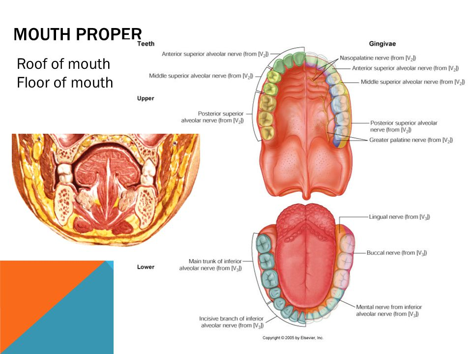 Mouth proper Roof of mouth Floor of mouth