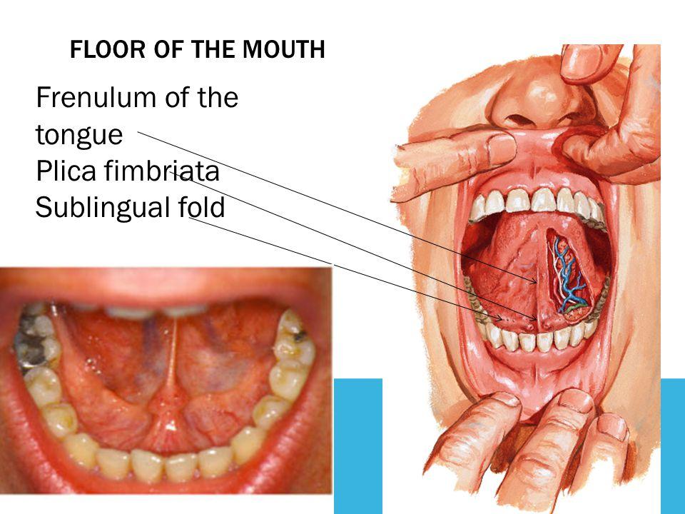 Frenulum of the tongue Plica fimbriata Sublingual fold
