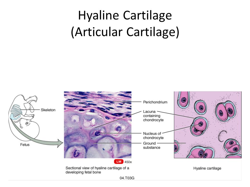 Hyaline Cartilage (Articular Cartilage)