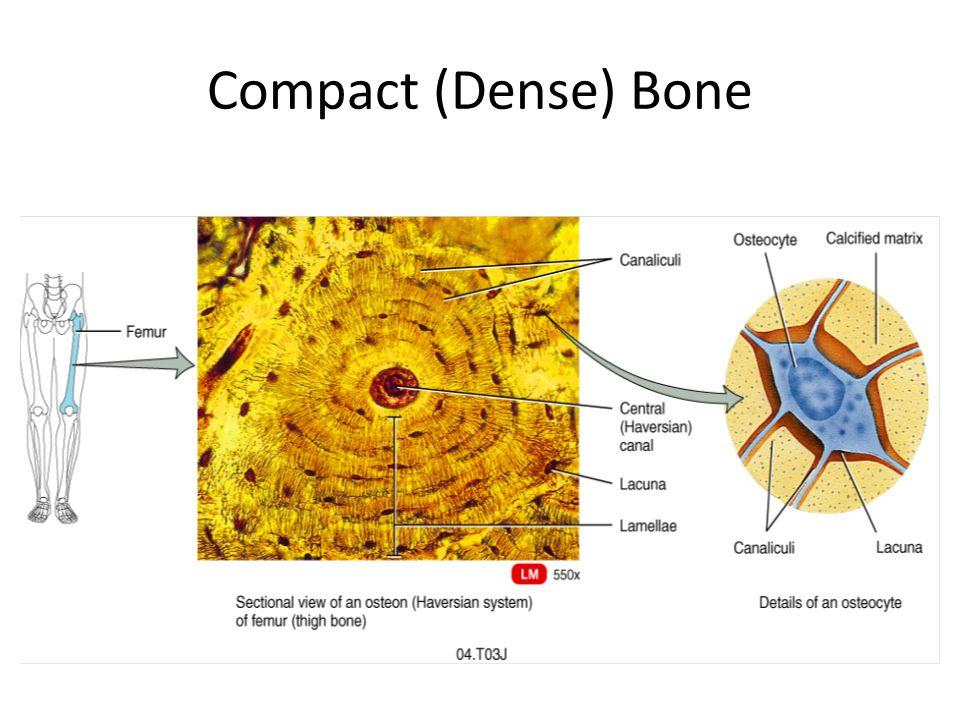 Compact (Dense) Bone