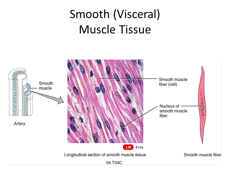Smooth (Visceral) Muscle Tissue