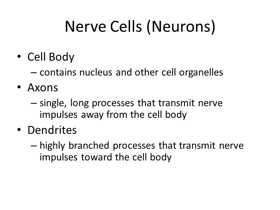 Nerve Cells (Neurons) Cell Body Axons Dendrites