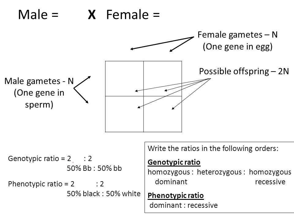 Male = Bb X Female = bb Bb b bb B Female gametes – N (One gene in egg)