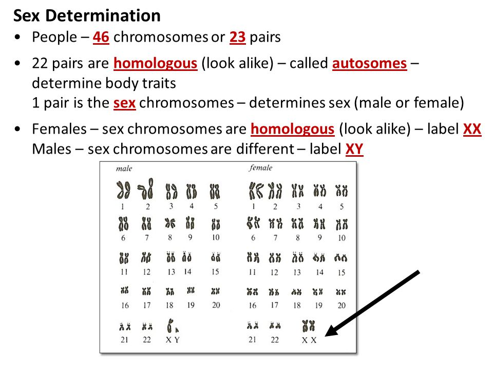 Sex Determination People – 46 chromosomes or 23 pairs
