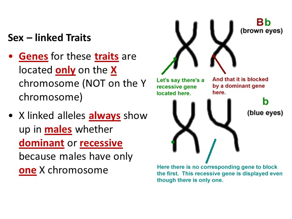 Sex – linked Traits Genes for these traits are located only on the X chromosome (NOT on the Y chromosome)