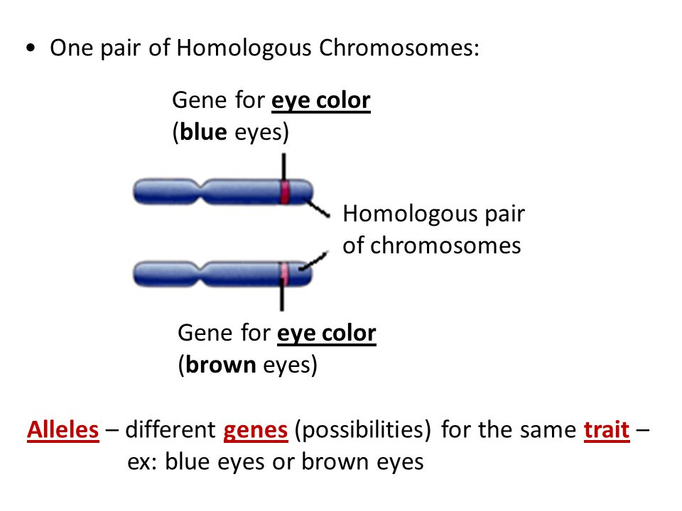 One pair of Homologous Chromosomes: