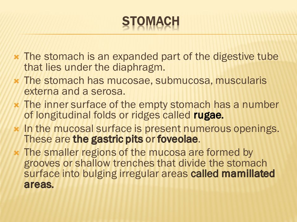 Stomach The stomach is an expanded part of the digestive tube that lies under the diaphragm.