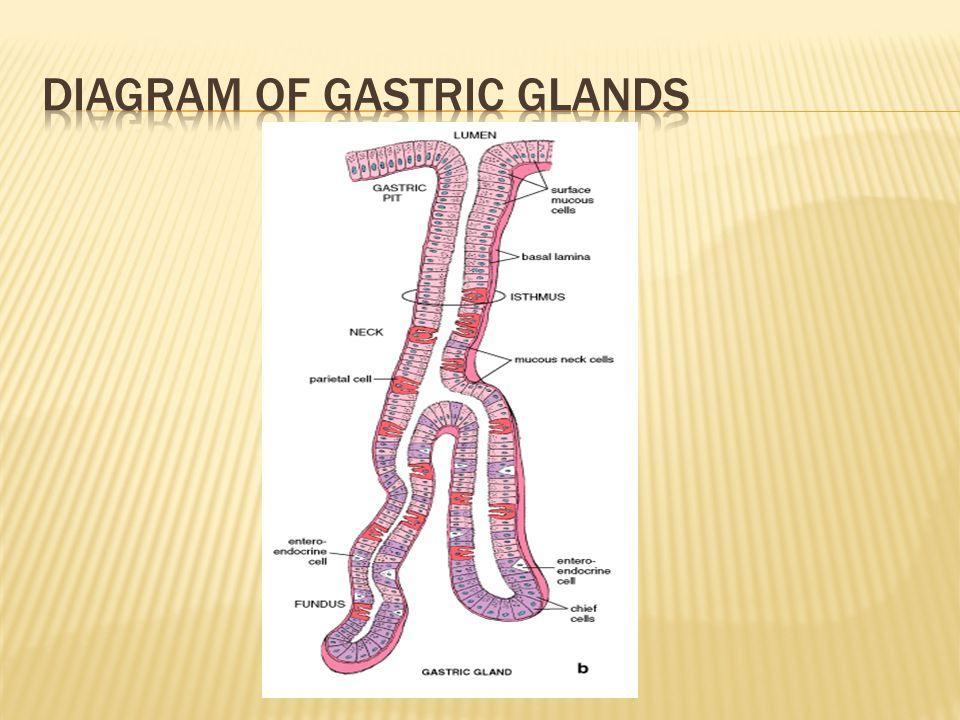 Diagram of gastric glands