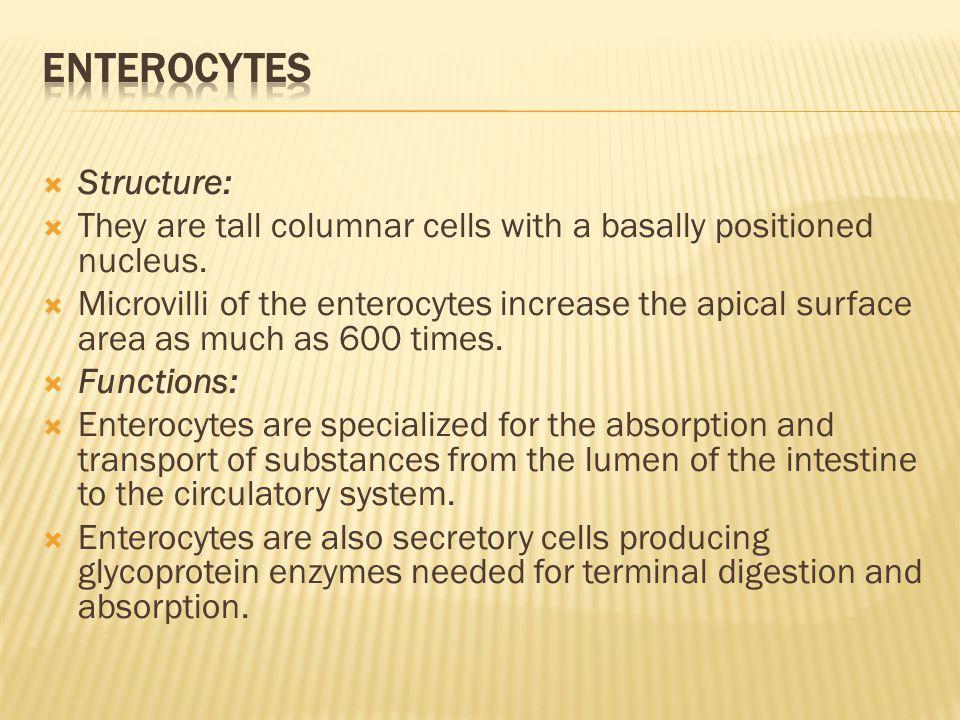 Enterocytes Structure: