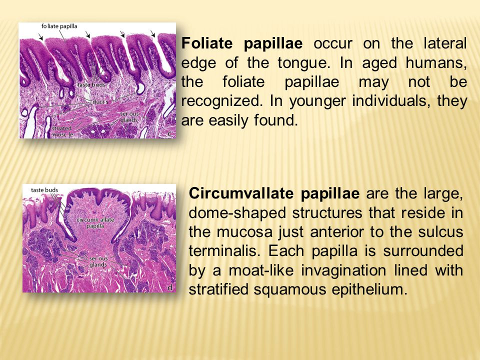 Foliate papillae occur on the lateral edge of the tongue