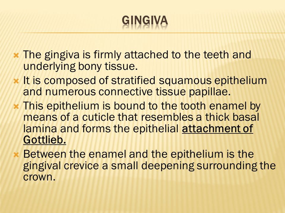 Gingiva The gingiva is firmly attached to the teeth and underlying bony tissue.