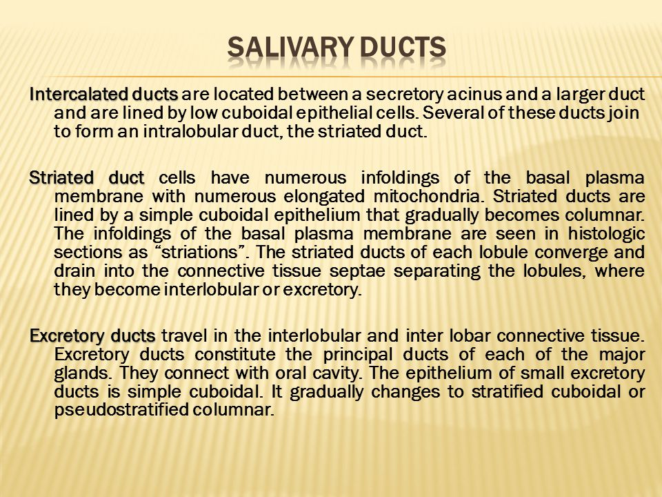Salivary ducts