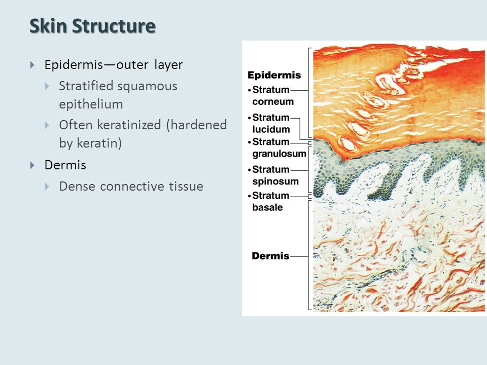 Skin Structure Epidermis—outer layer Stratified squamous epithelium