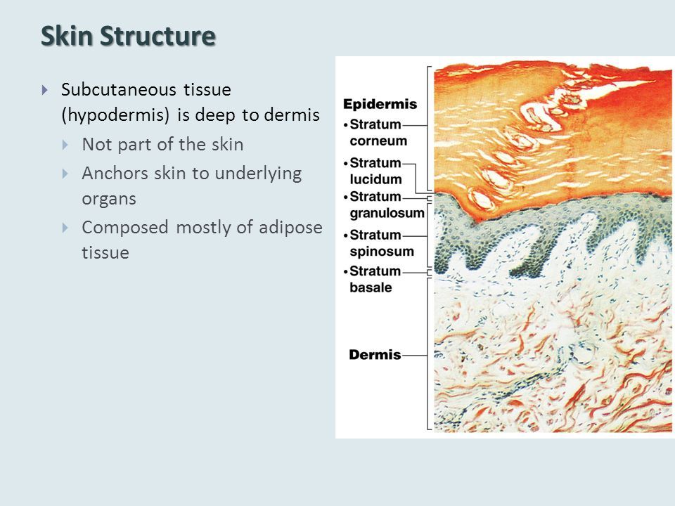Skin Structure Subcutaneous tissue (hypodermis) is deep to dermis